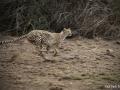 Tajil se nám dech, když gepard  zaútočil